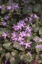 Campanula 'Constellation'